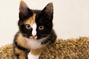 How Long Do Calico Cats Live   LoveToKnow