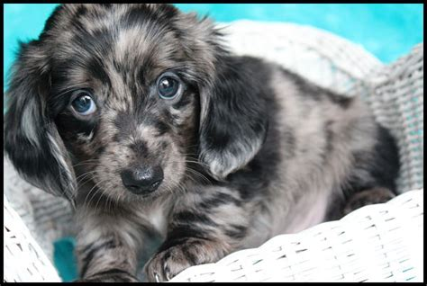 puppies lubbock dachshund puppies for sale lubbock tx merry photo