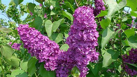 flieder richtig pflanzen schneiden und vermehren