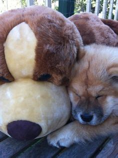 fuzzy chow chow puppy chow chow sur