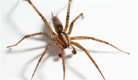 Garden Spider Vs Orb Weaver by Orb Weaver Spiders Facts Pictures Habitat Information