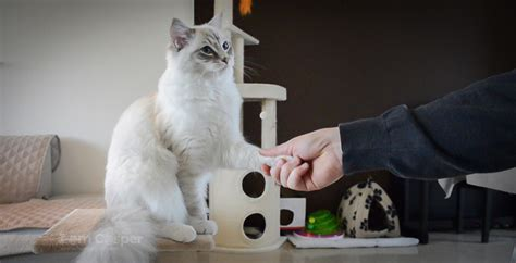 how to your to paw how to teach your cat to shake paw clicker iamcasper