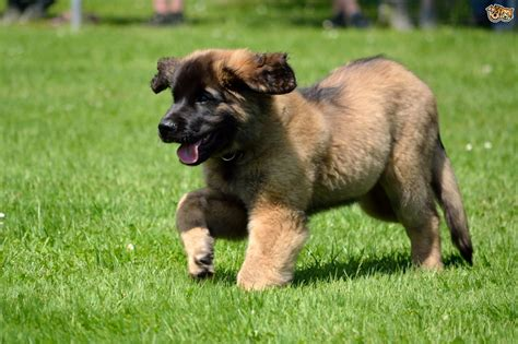 leonberger puppies cost leonberger breed information buying advice photos and facts pets4homes