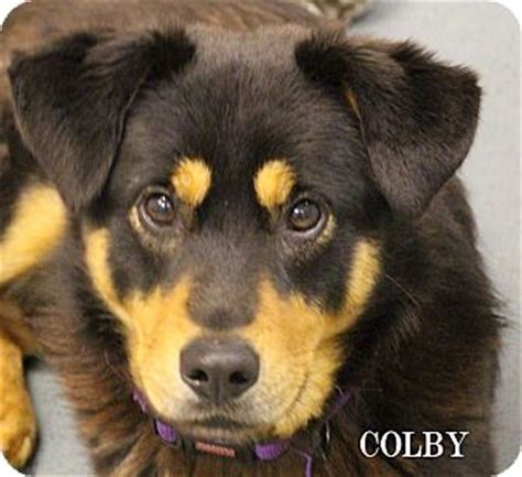 rottweiler australian shepherd mix puppies colby adopted chester md rottweiler australian shepherd mix