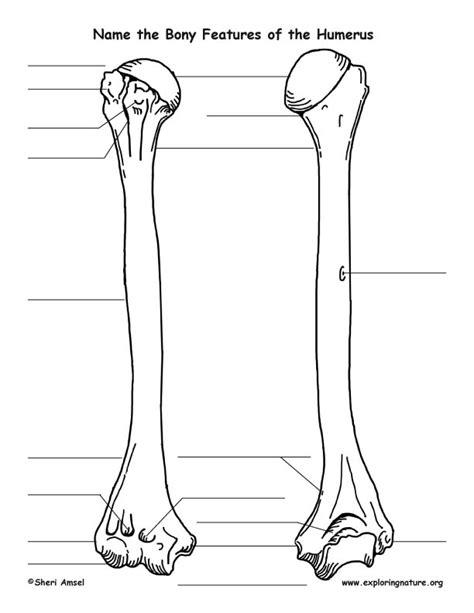 printable anatomy quiz humerus bony features