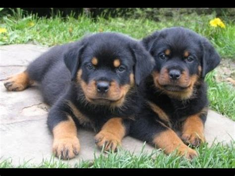 rottweiler puppies colorado rottweiler puppies dogs for sale in denver colorado co 19breeders fort collins