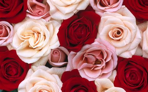 pink and red roses photo red rose flower background wallpapersafari