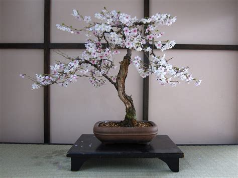 a cherry tree bonsai cherry bonsai trees prunux x yodoensis bonsai tree gardener