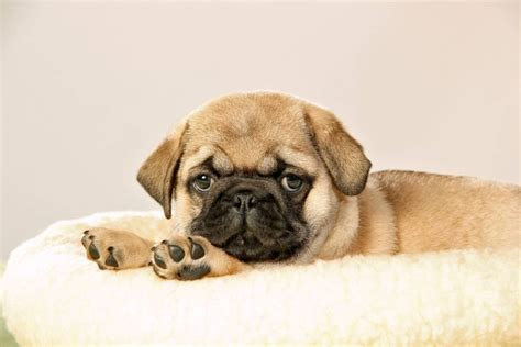 how much is a pug cost microchip cost everything you need to about microchipping your pet metro news