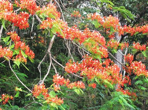 Garden Poinciana frangipini gardens poinciana flowering all town at