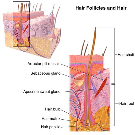 hair sensory hairs definition of sensory hairs by the file blausen 0438 hairfollicleanatomy 02 png wikimedia