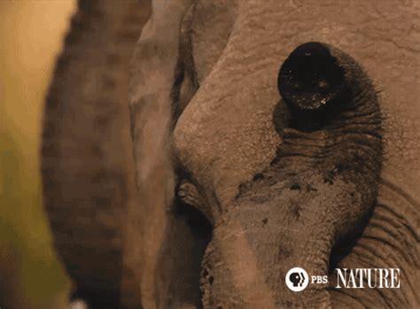 amazing animated elephant gif images   animations