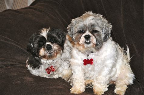 does a shih tzu shed do shih tzu shed bunkblog breeds picture