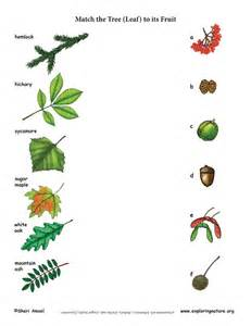 match the tree leaf to its fruit