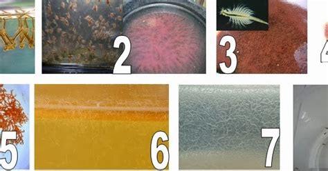 Makanan Ikan Cupang Dari Tumbuhan betta fish only 2 jenis jenis makanan ikan cupang