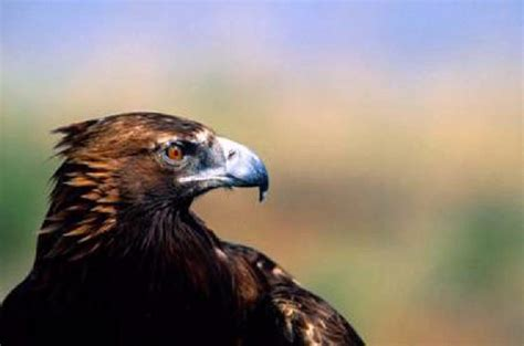 Do Eagles Shed Their Beaks by Shangralafamilyfun Shangrala S Real Story Of The Eagle
