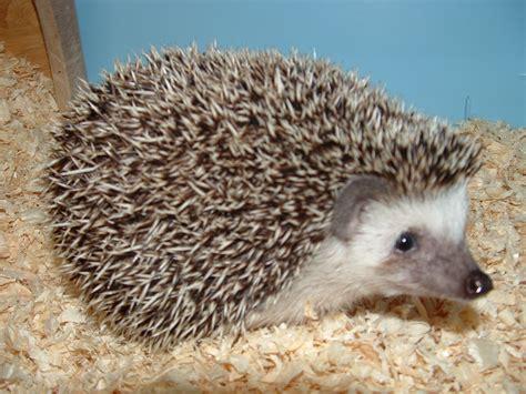 Landak Mini cinnamon pinto hedgehog www imgkid the image kid