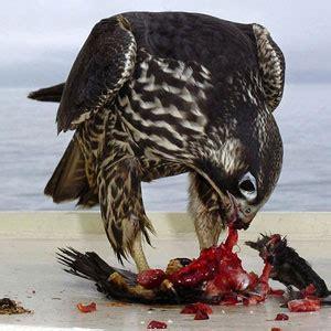 le faucon dnich pleine b0065tfbb8 le faucon p 232 lerin peut se poser sur les bateaux puis chasser les oiseaux ornithomedia com