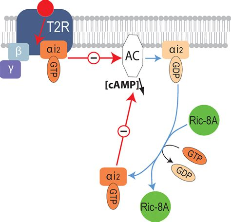 Frontiers | Ric-8A, a Gα protein guanine nucleotide ... G Protein Coupled Receptors Diagram