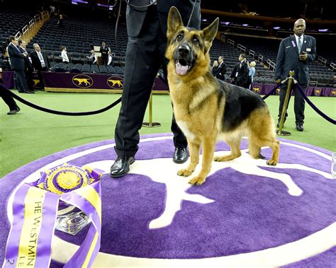 rumor the westminster show awards best in show to rumor the