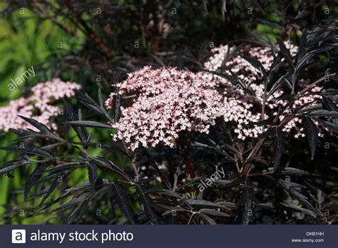 schwarzer holunder black lace black lace elderberry sambucus nigra black lace