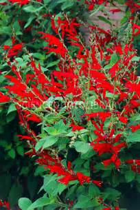 Plant With Green Flowers - salvia fulgens stock image b836 1351 science photo library
