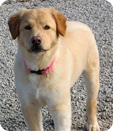 golden retriever indianapolis gracie adopted indianapolis in golden retriever great pyrenees mix