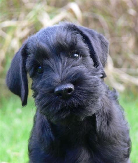 black and silver giant schnauzer puppies black and silver giant schnauzer puppies