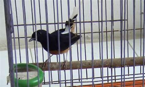 Harga Pakan Burung Fancy harga pakan burung murai batu berkualitas ekspor terbaru
