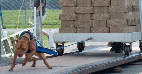 weight pulling critics divided on controversial sport of weight pulling dogtime