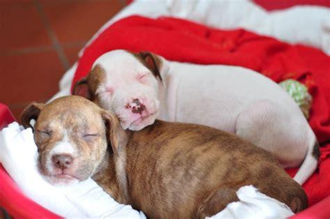 6 week pitbull puppy
