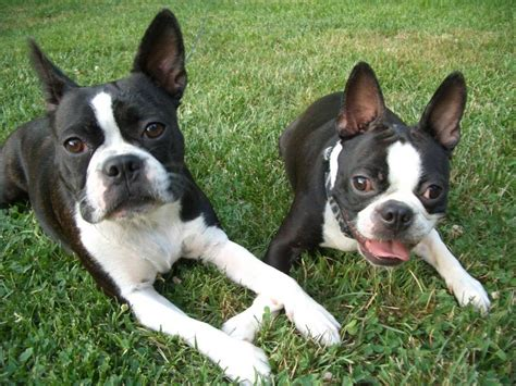 boston terrier pictures boston terriers images bostons