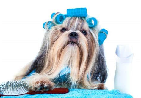 shih tzu conditioner best shoo for shih tzu reviews and a buyers guide february 2018
