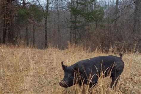 how to a to hunt hogs how to hunt hogs with an ar 15 in 5 56 223 prepared gun owners