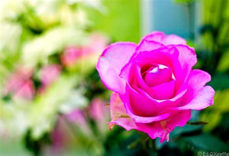 Mawar Mini Rambat Artifisialplastik Pink koleksi gambar dan foto menarik html autos post