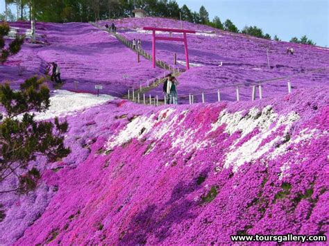 Japanese Flower Garden The Carpet Of Flowers Shibazakura Moss Pink Hill Blossom At Hitsujiyama Park Great Panorama