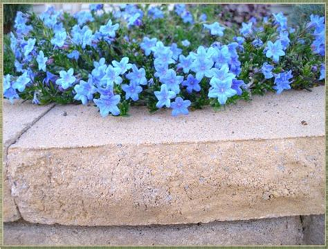 lithodora evergreen perennial with electric blue flowers low growing ground cover flowers