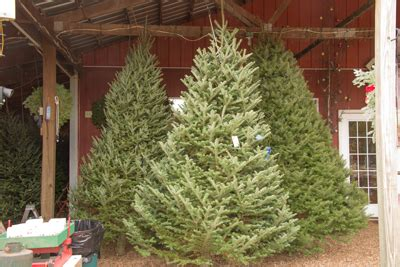 pre cut christmas tree selections