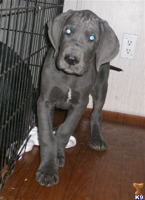 great dane puppies craigslist great pyrenees puppies great pyrenees breeders great pyrenees for breeds picture