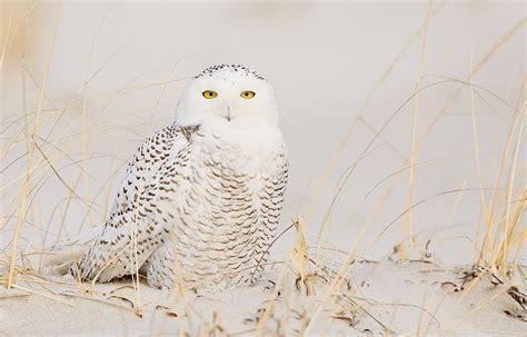 Canon Creative Park Snowy Owl - gallery