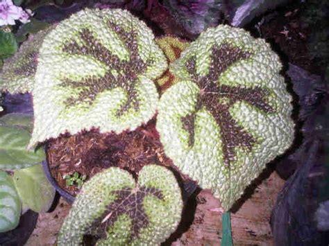 Tanaman Hias Calathea Saputangan tanaman begonia iron cross bibitbunga