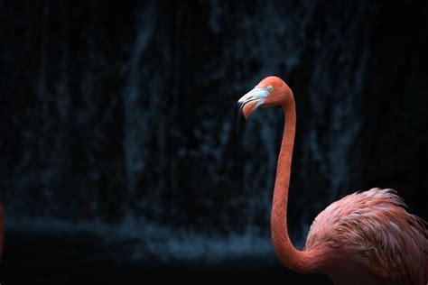 flamingo wallpaper black and white pink flamingo hd wallpaper wallpaper flare