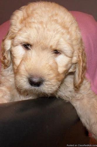 goldendoodle puppy price goldendoodle puppies price 650 for sale in celina ohio best pets
