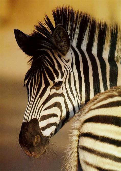 5 Striped Stuff To See by Zebra Repin By For Animals