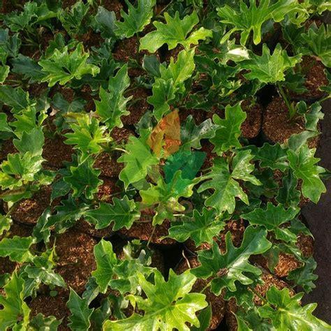 Tanaman Philodendron Xanadu jual tanaman philodendron xanadu stek 20 cm agro bibit id