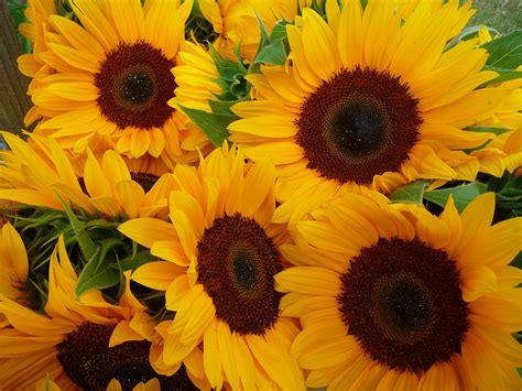 imagenes hermosas girasoles file sonnenblumen im bund jpg wikipedia