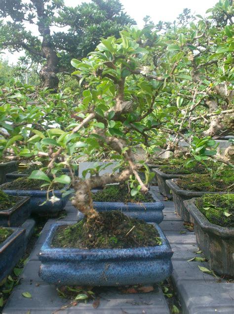 tipi di bonsai da interno casa immobiliare accessori tutti i tipi di bonsai