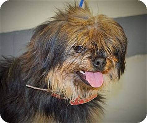 yorkie pekingese puppies pet not found