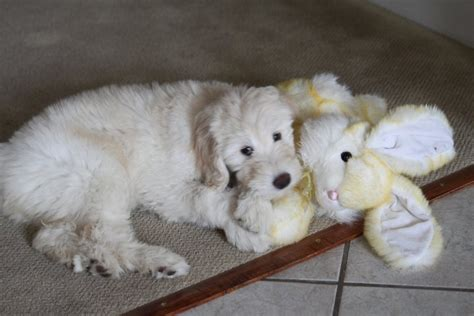 briar ridge puppies 17 best images about our puppies on f1b goldendoodle and kohls