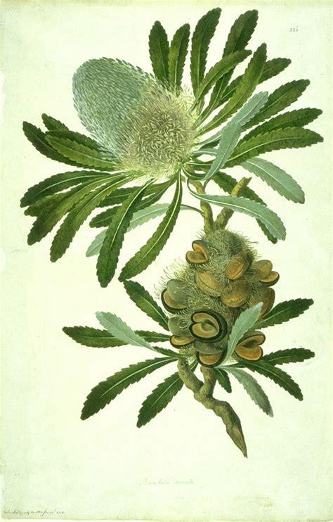 the botanical art files file banksia serrata watercolour from bank s florilegium jpg wikimedia commons